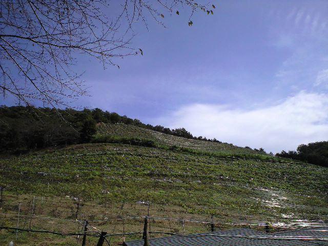 足利ココファーム・ワイナリーカフェのテラス席よりブドウ畑を見る